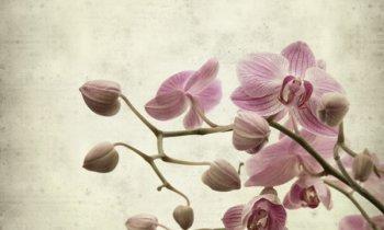 Πως να περιποιηθείτε τις Ορχιδέες σας (Phalaenopsis orchids) EN version
